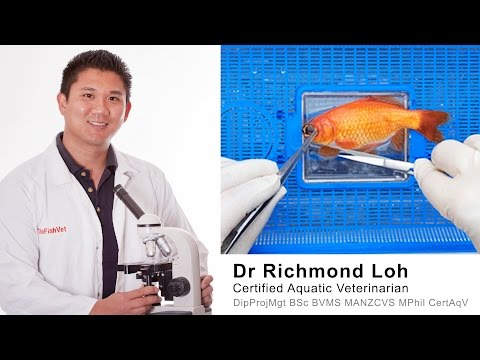 Goldfish Surgery Of Damaged Popped Eye By Fish Veterinarian Dr Loh