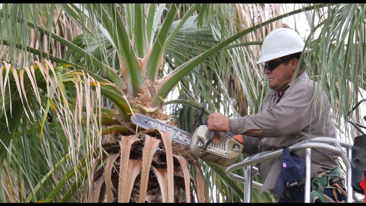 Palm Tree Pruning