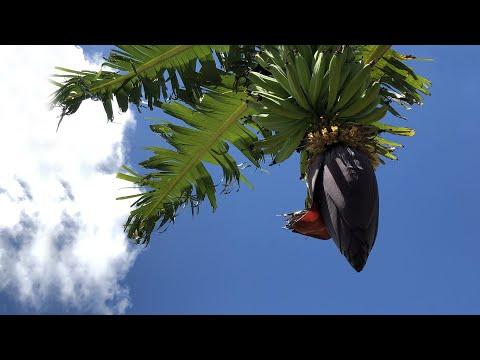 Surinaamse vruchten en-  groentesoorten #1