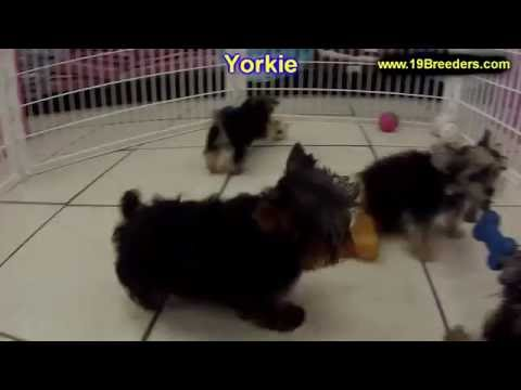 Yorkshire Terrier, Yorkie, Puppies, Dogs, For Sale, In