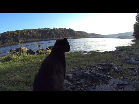 Walking with the leopard. Black leopard and Rottweiler at sunset. Dog and cat friends