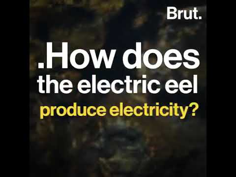 How Does Electric Eel Fish Produce Electricity ???