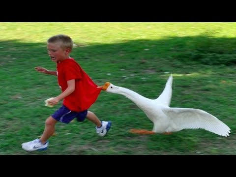 Funny Goose Chasing Kids Compilation|| Funny Babies and Pets