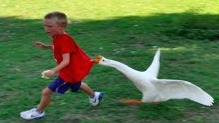 Funny Goose Chasing Kids Compilation Funny Babies and Pets