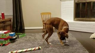 Boxer Dog Chasing a Laser With Cat Like Reflexes