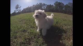 For in florida Havanese sale puppies