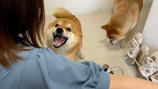 柴犬、ママがカバンを持ち始めると。。