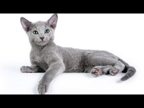 Все о породе русская голубая кошка за 3 минуты