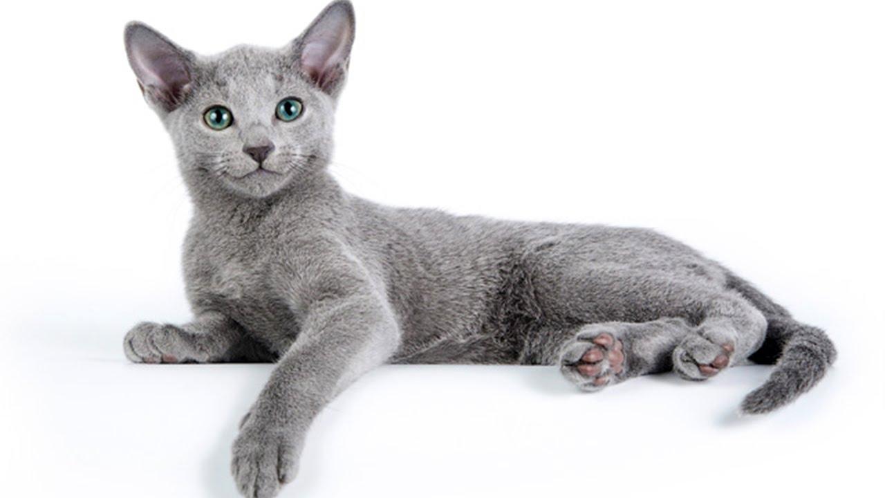Все о породе русская голубая кошка за 3 минуты - YouTube