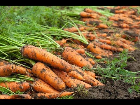 Семь способов посева моркови
