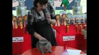 Британская кошка Ашера на ринге WCF с Инной Шустровой