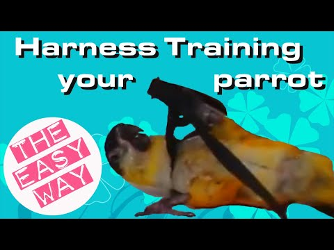 Training a Caique parrot to wear a harness