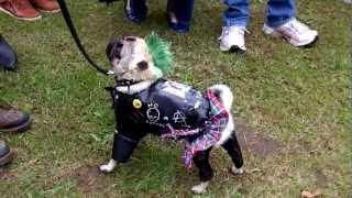 Punk Pug (pug Welfare Party 2012)