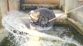 Cleansing and feeding a crocodile (Cá sấu nhà mình khôn lắm 😂, dọn chuồng cá sấu và cho cá sấu ăn)