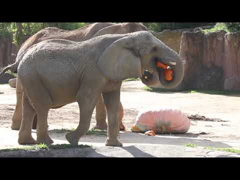 Cleveland zoo elephants enjoy 1,300 pound pumpkin for brunch