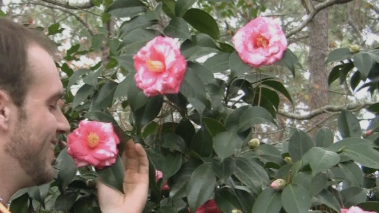 Flower bushes that bloom in winter -  Plant A Flowering Camellia Bush Correctly Winter Flowers Youtube