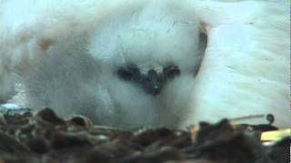 Red-Tailed Tropic Bird & Chick