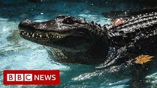 'World's oldest' alligator celebrates 85th birthday - BBC News