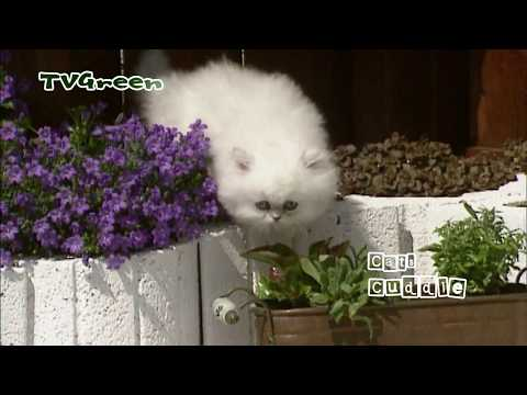 Cuddling cats - Persian Cat Breed
