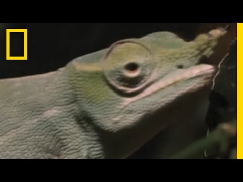 Chameleon Tries to Get a Date | National Geographic