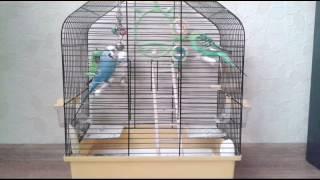 Болезни волнистых попугаев.