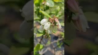 블루베리꽃만개