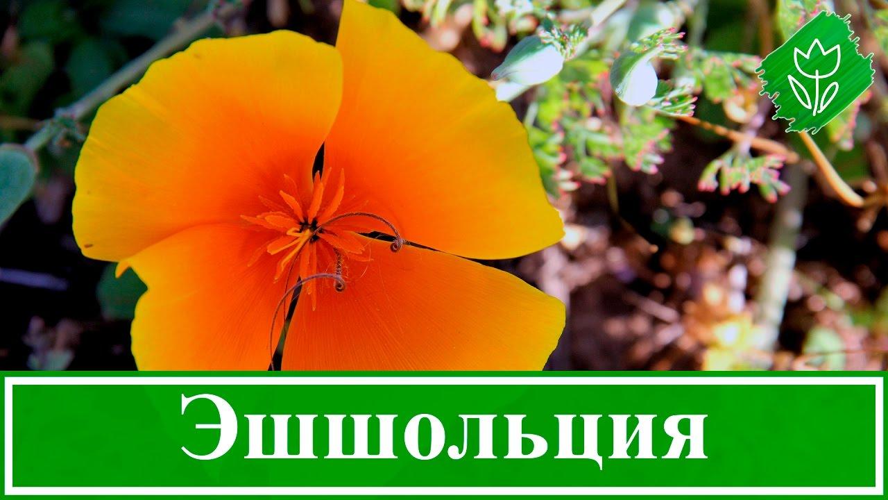 Цветы эшшольция посадка и уход фото
