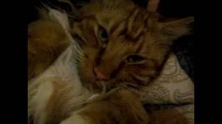 Смешной рыжий кот породы мейн кун! Видео приколы про котов