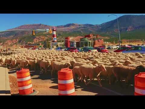 Cedar City Sheep Take Over The Street!