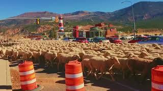 この圧倒的なヒツジ感!道路をすべて埋め尽くすヒツジの群れをご覧ください