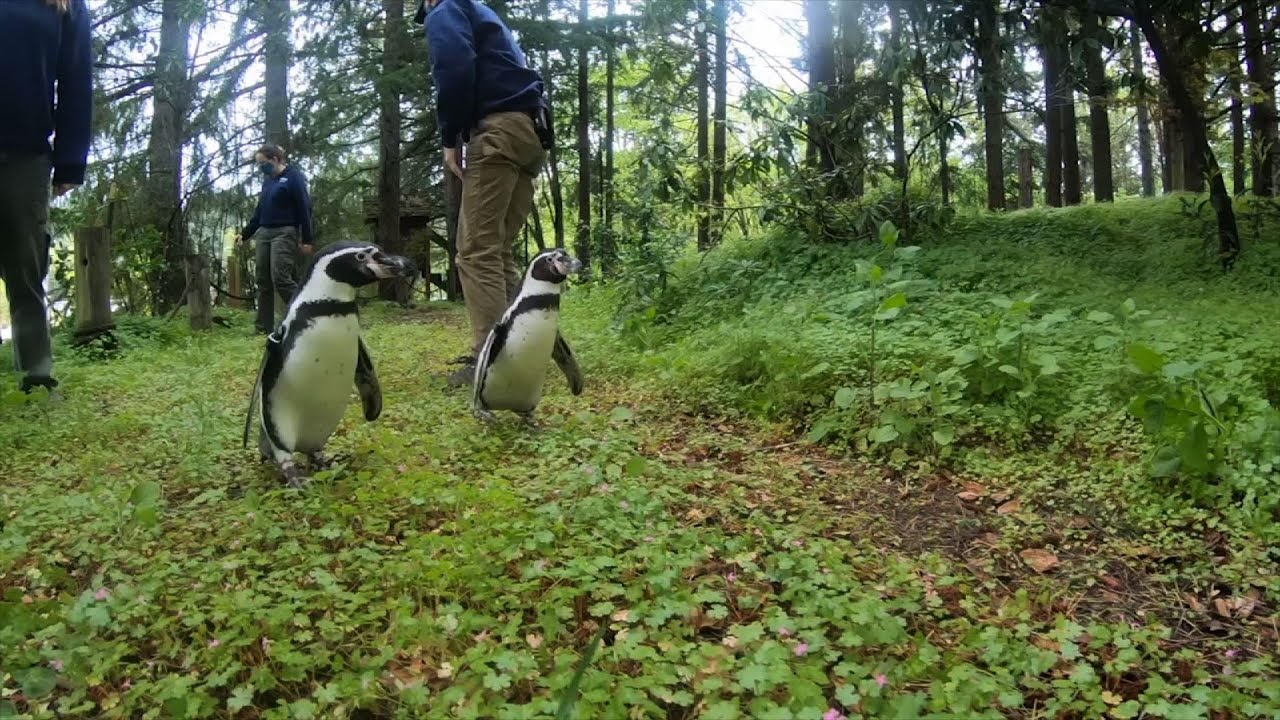 Penguins take a hike in woods while zoo is closed - YouTube
