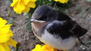 子供のツバメが巣から落ちたのか、花の上に止まってました。 つれて帰ろ...