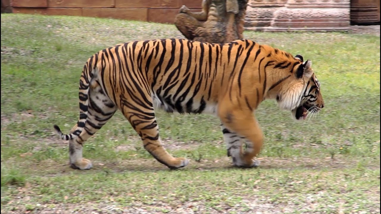 bengal tiger roar and grooming - hd video - youtube