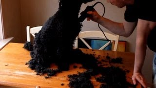 Grooming a Spanish Water Dog