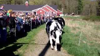 Cows in NH going wild on their first pasture day