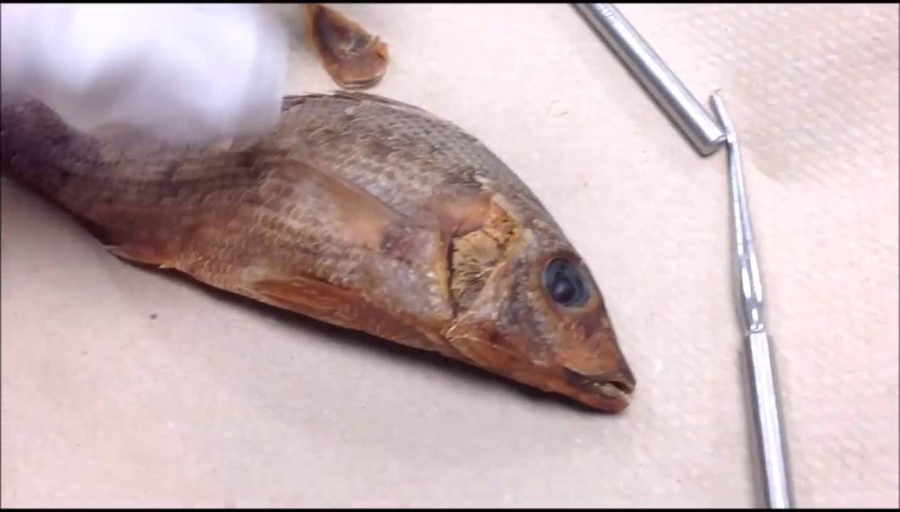 Perch Dissection Walkthrough - YouTube