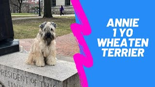Annie | 1 Year Old Soft Coated Wheaten Terrier | Obedience Training | 14 Day Transformation |