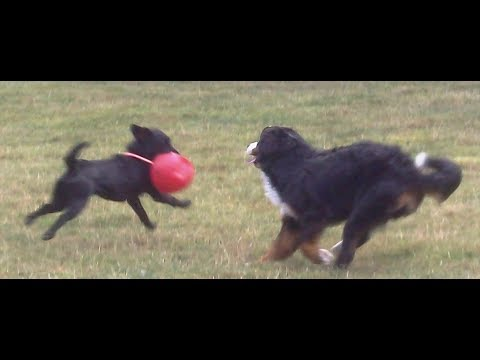 Bernese Mountain Dog Murphy & Labrador Bandit legging it.