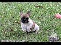 Direnna's On The Way - Bulldog frances - Canil Direnna