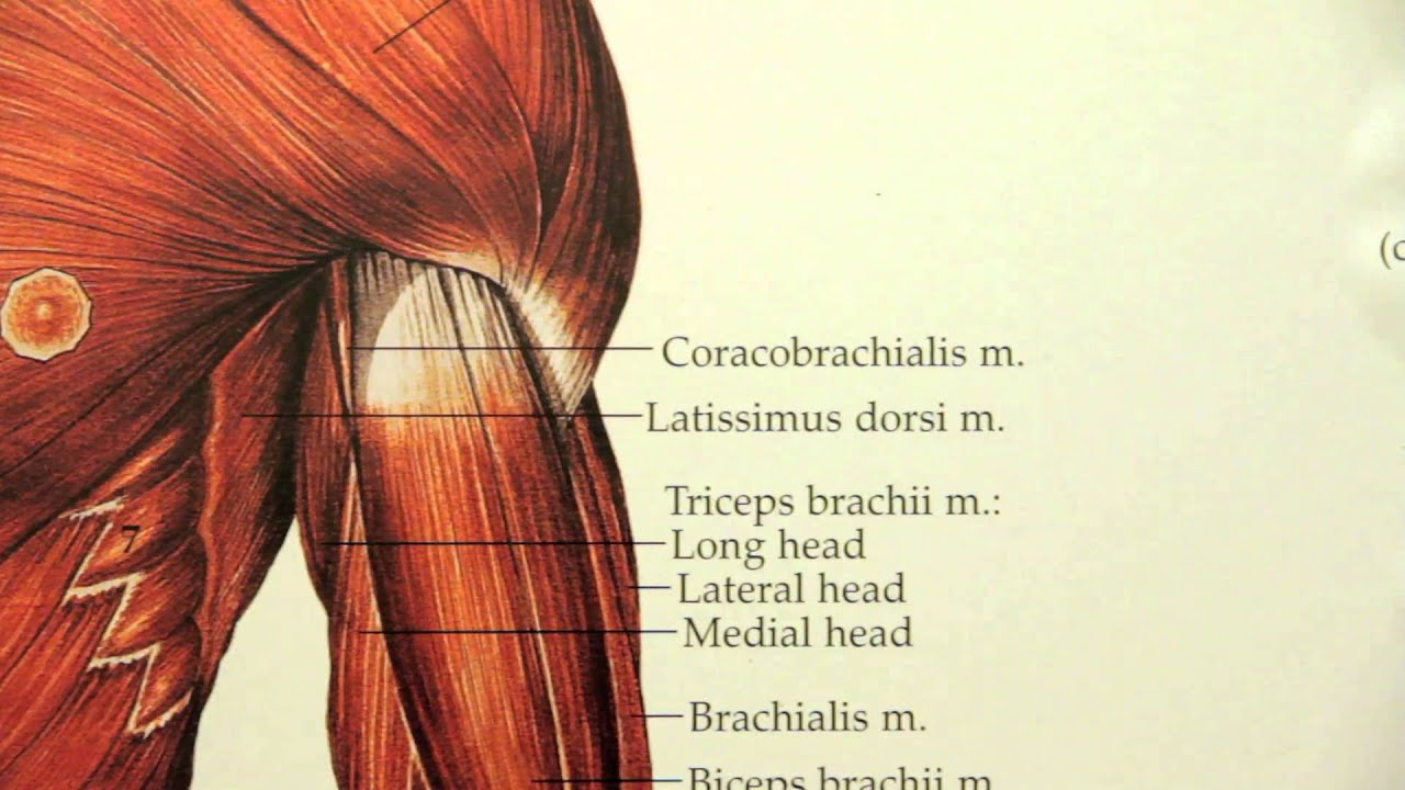 Naprapathögskolan anatomi - YouTube