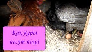 Как куры несут яйца(Снесла курочка Ряба яичко, да не простое..., 2016-06-20T17:29:47.000Z)