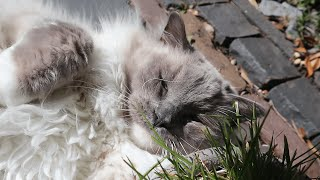 Ragdoll Cat Ate too Much Cat Grass? It's just dental floss to my other cat.