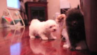 Aca Pomeranian/akc Bichon Puppies | Tutu-zoey-jewel-ginger-winnie