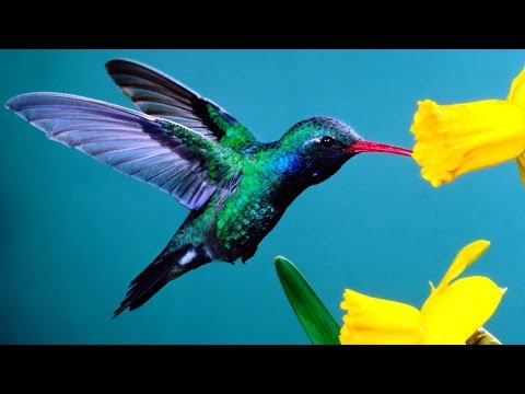 Hummingbirds - Magic in the Air (Full Documentary)