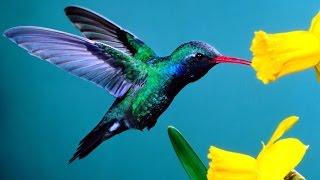 Hummingbirds - Magic in the Air (Full Documentary)