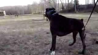 Boxer dog barking at geese