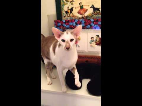 Talkative Oriental Shorthair Pearlie Mae