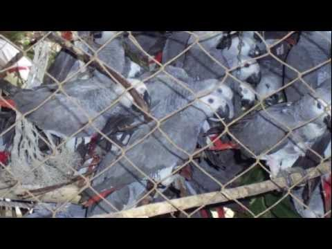 Interview with Boyd Matson on the Unethical Trade in Wild African Grey Parrots…