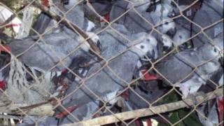 Interview with Boyd Matson on the Unethical Trade in Wild African Grey Parrots...