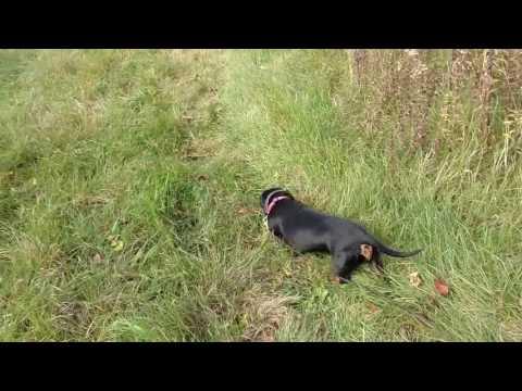 Best Deer tracking dog